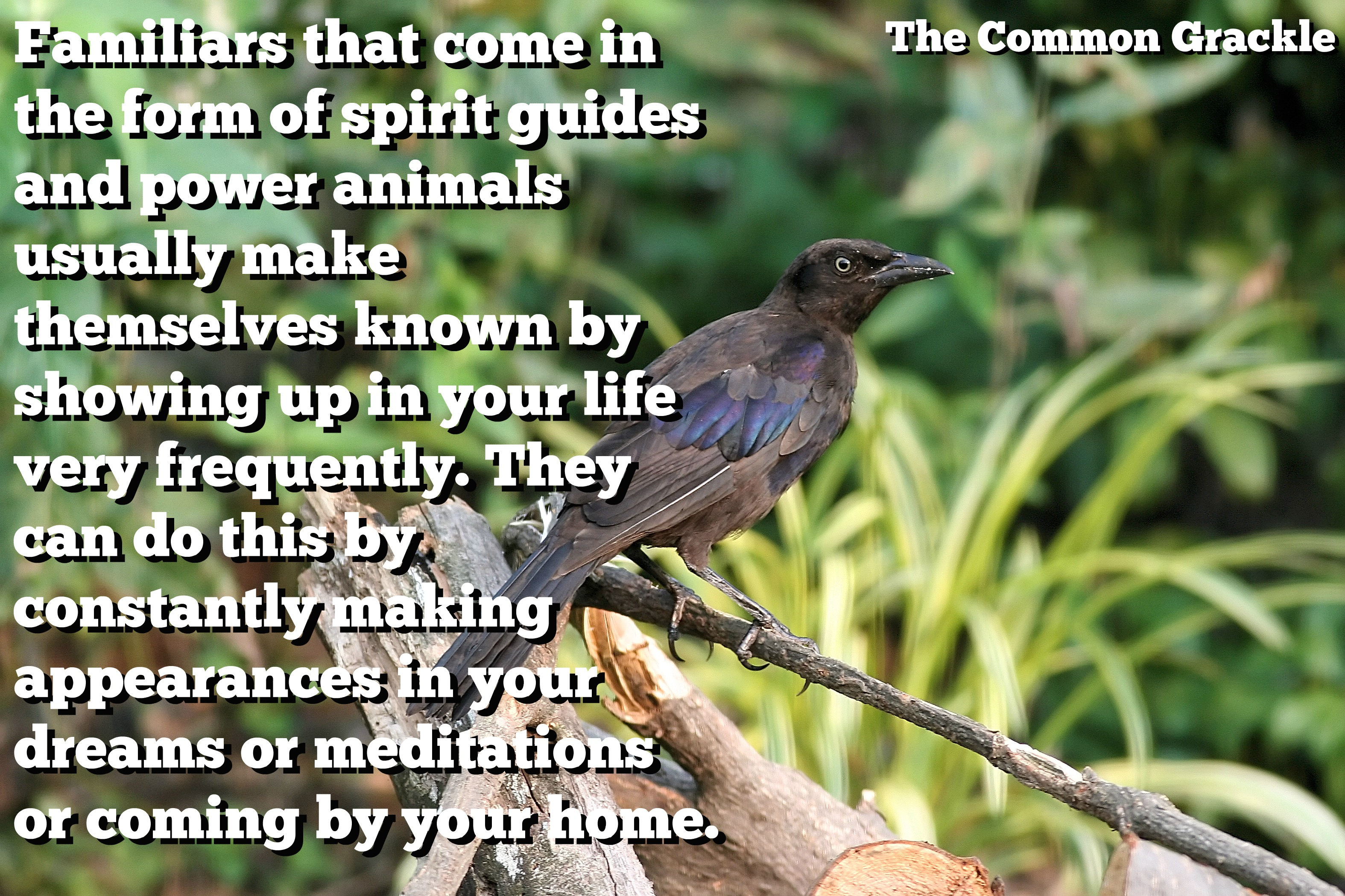 The Witch's Familiar – The Common Grackle